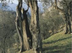 olivaia2