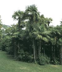 palmearbor